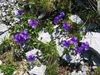 Alpen-Veilchen