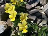 Gelbes Stiefm�tterchen